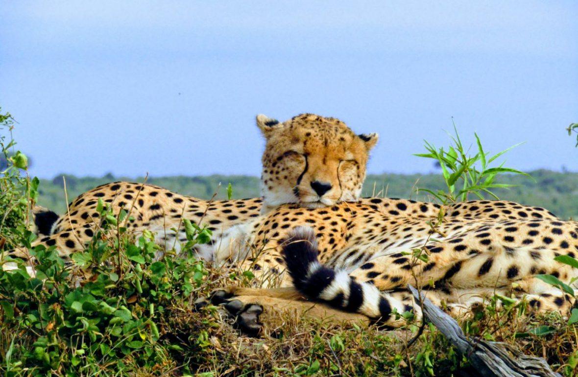 guepardos durmiendo en Masai Mara en Kenia